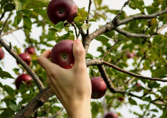 Z drevesa na mizo –  od jablane do soka